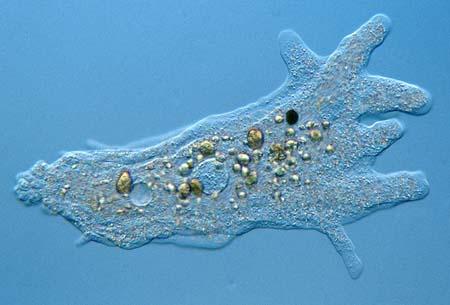 amoebaproteus450